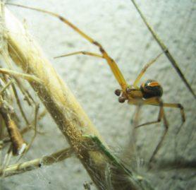 Picture of Latrodectus hesperus (Western Black Widow) - Male - Dorsal