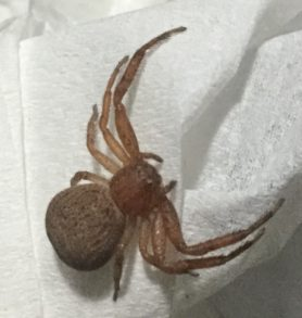 Picture of Xysticus spp. (Ground Crab Spiders) - Female - Dorsal
