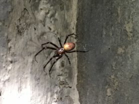 Picture of Meta menardi (European Cave Spider) - Dorsal