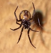 Picture of Steatoda borealis - Female - Ventral