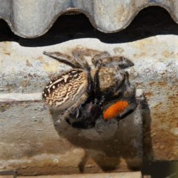 Featured spider picture of Phidippus texanus