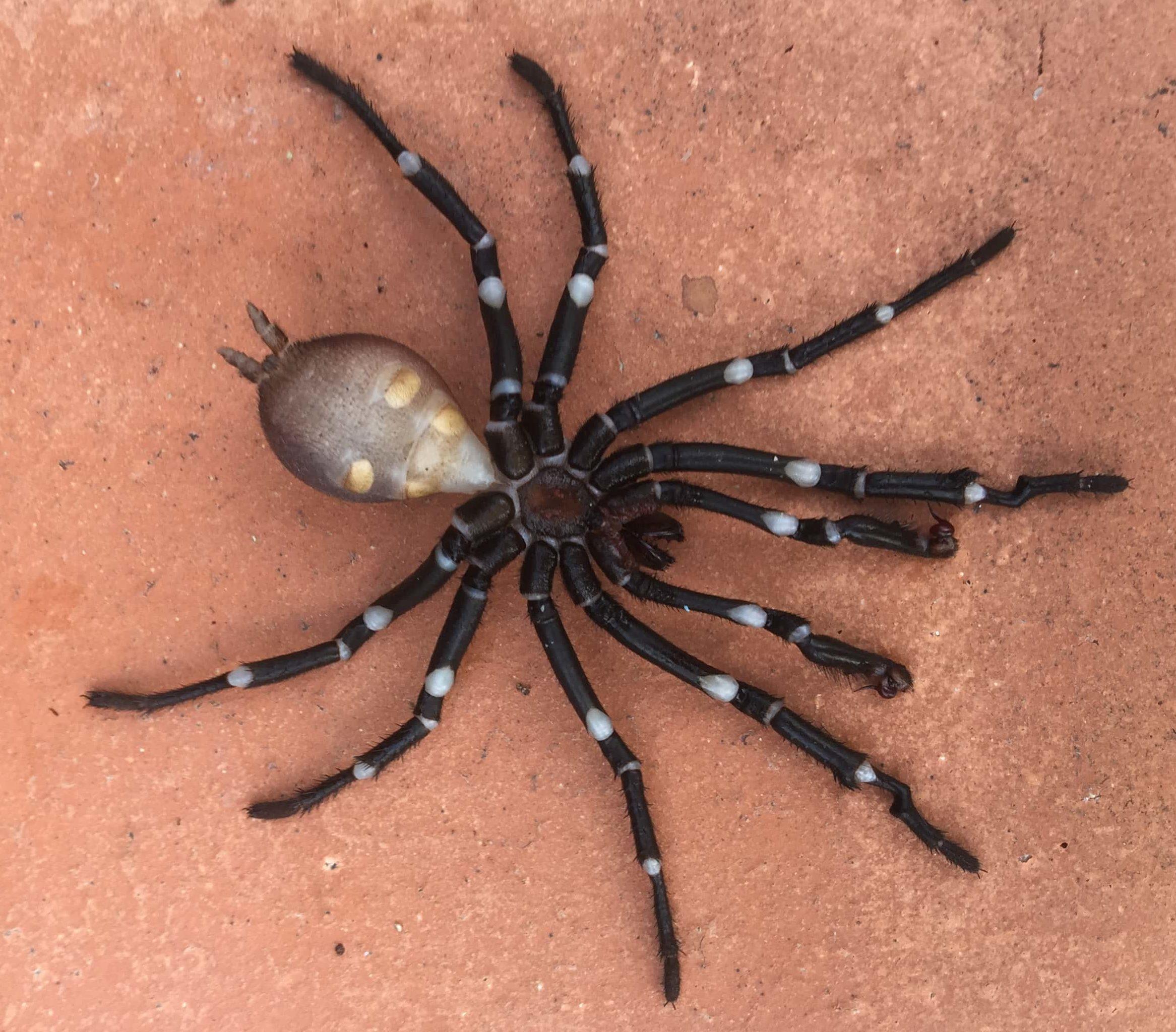 Picture of Bothriocyrtum californicum (California Trapdoor Spider) - Male - Ventral