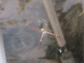 Picture of Argiope spp. (Garden Orb-weavers) - Webs