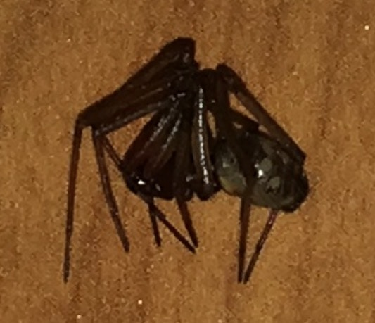 Picture of Steatoda grossa (False Black Widow) - Male - Lateral