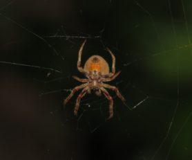 Picture of Araneidae (Orb-weavers) - Female - Ventral,Webs