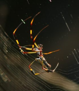 Picture of Nephila clavipes (Golden Silk Orb-weaver) - Lateral,Webs