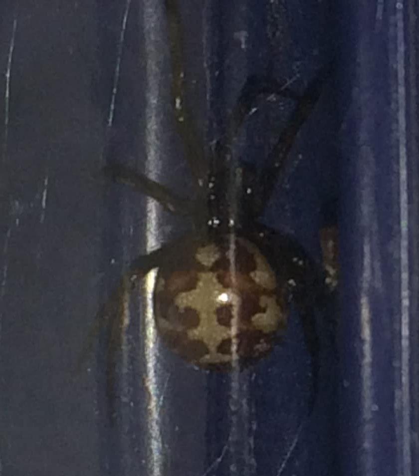 Picture of Steatoda triangulosa (Triangulate Cobweb Spider) - Dorsal,Webs