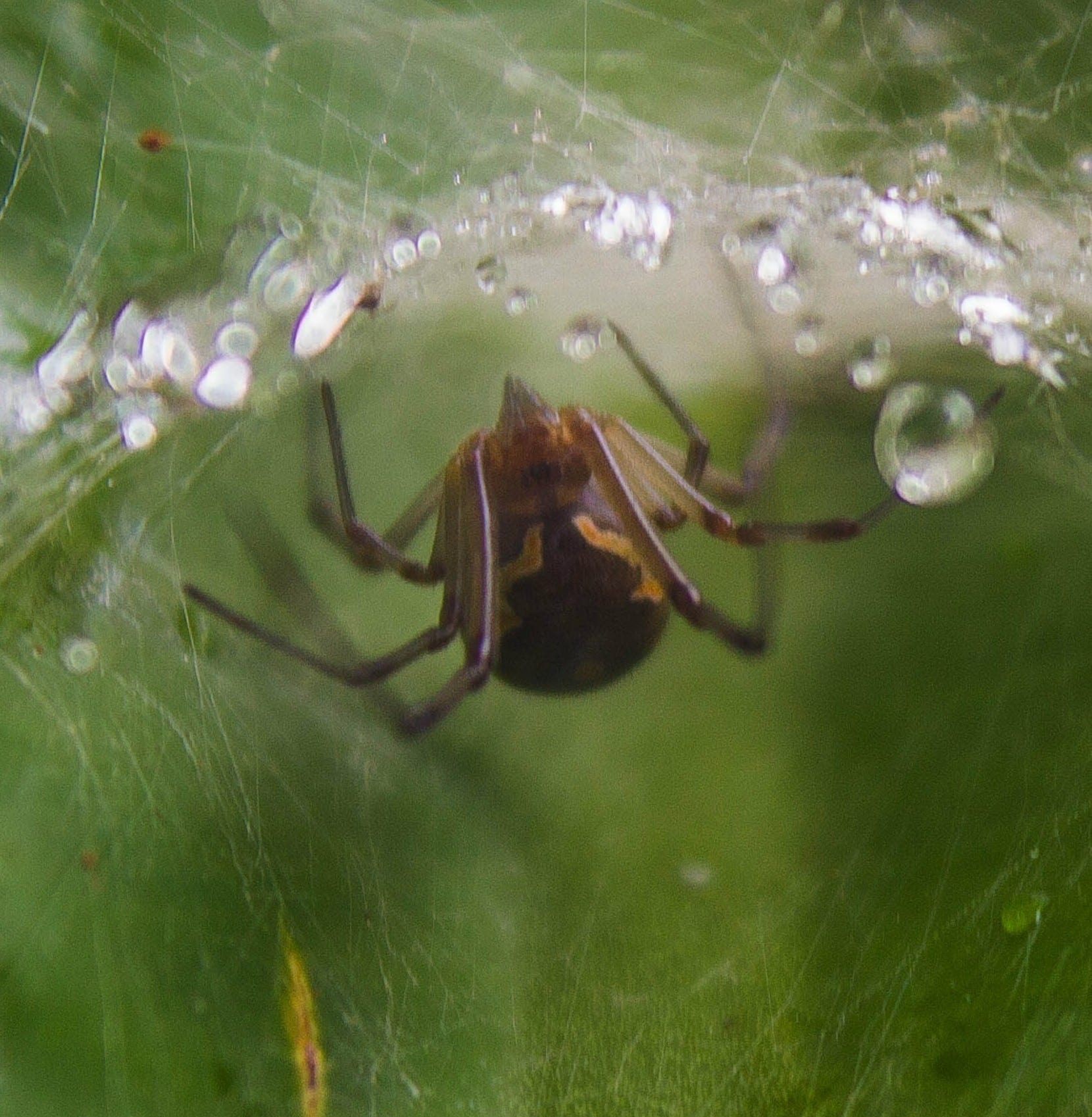 Picture of Latrodectus geometricus (Brown Widow Spider) - Eyes