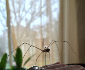 Picture of Pholcidae (Cellar Spiders) - Female - Lateral