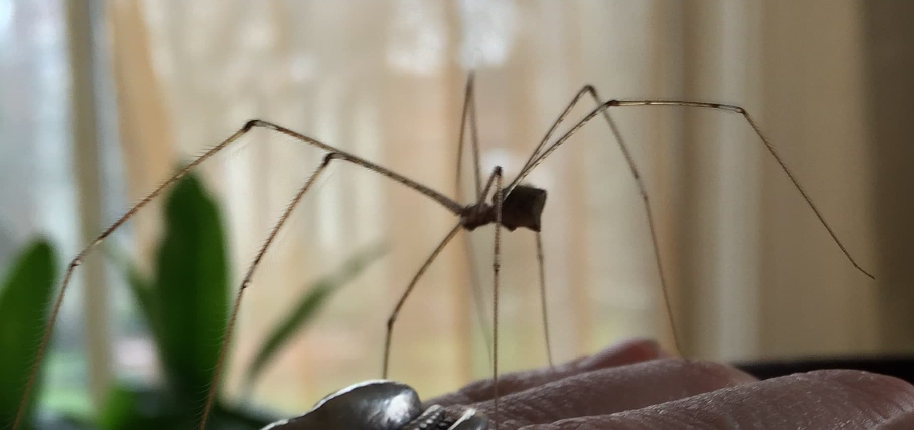 Picture of Crossopriza lyoni (Tailed Daddy Longlegs) - Female - Lateral