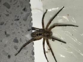 Picture of Zoropsis spinimana - Male - Dorsal