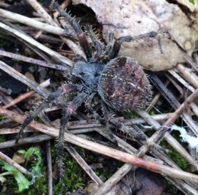 Picture of Araneus gemma - Dorsal