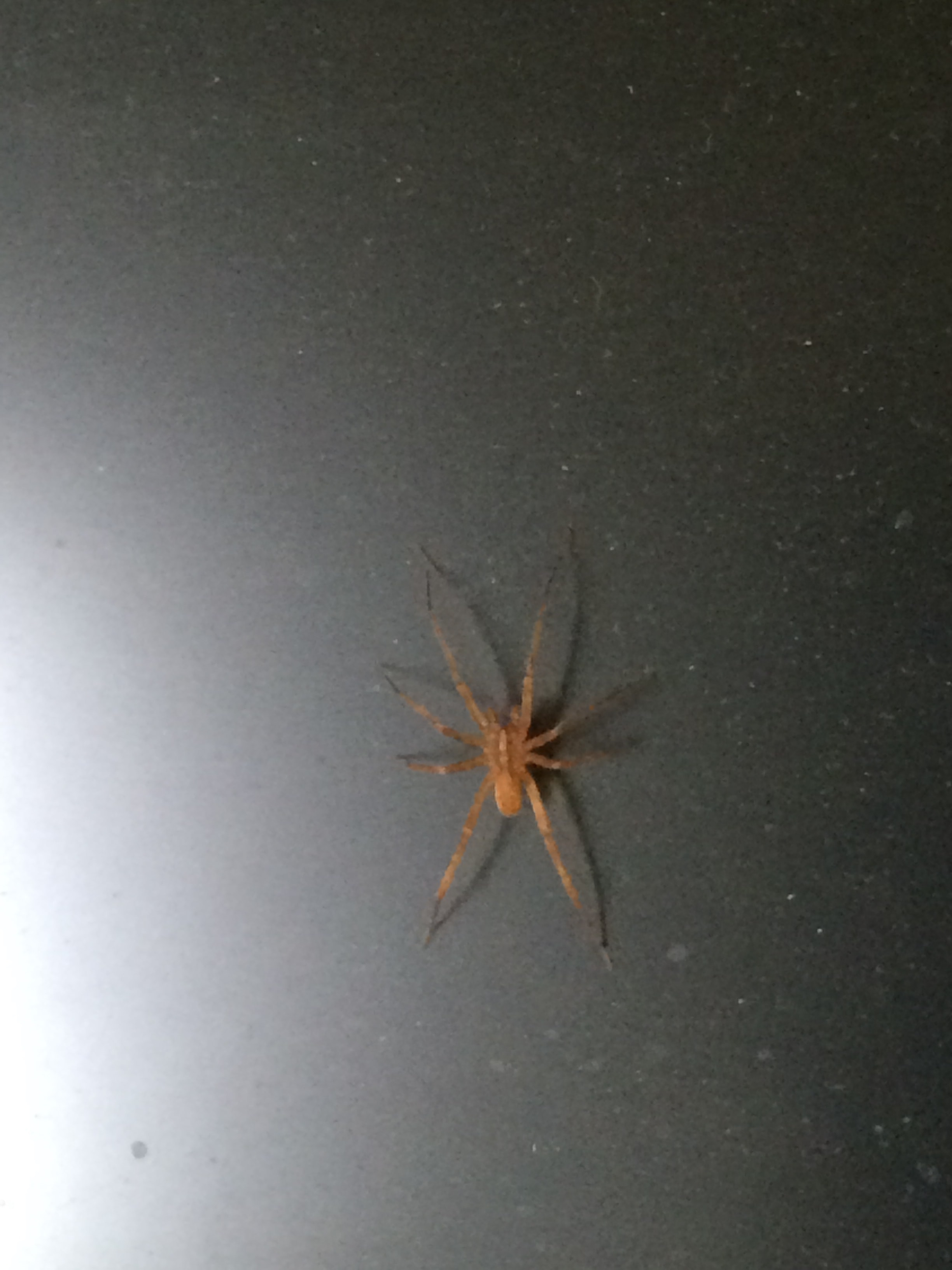 Picture of Anahita punctulata (Southeastern Wandering Spider) - Dorsal