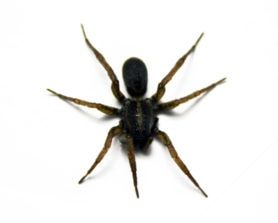 Picture of Tigrosa spp. - Dorsal