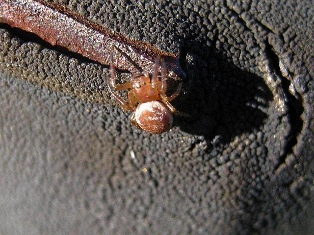 Picture of Araniella displicata (Six-spotted Orb-weaver) - Dorsal