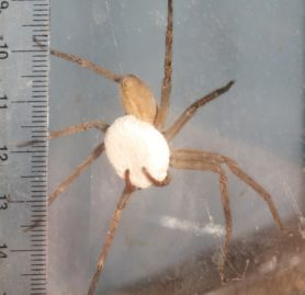 Picture of Heteropoda venatoria (Huntsman Spider) - Female - Egg Sacs,Ventral