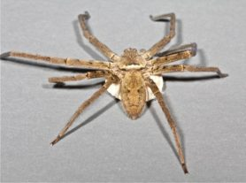 Picture of Heteropoda venatoria (Huntsman Spider) - Female - Dorsal,Egg Sacs