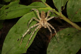 Picture of Heteropoda boiei (Lichen Huntsman Spider) - Female - Dorsal