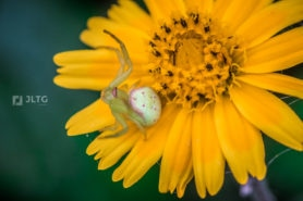 Picture of Thomisidae (Crab Spiders) - Dorsal,Webs
