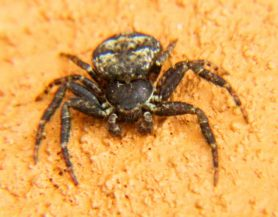 Picture of Bassaniana spp. (Bark Crab Spiders) - Male - Dorsal