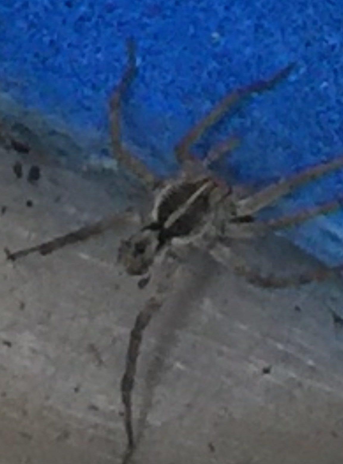 Picture of Tigrosa georgicola - Male - Dorsal