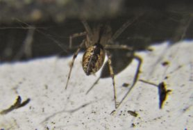 Picture of Pityohyphantes costatus (Hammock Spider) - Male - Dorsal,Webs