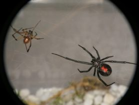 Picture of Latrodectus hesperus (Western Black Widow) - Male,Female - Ventral