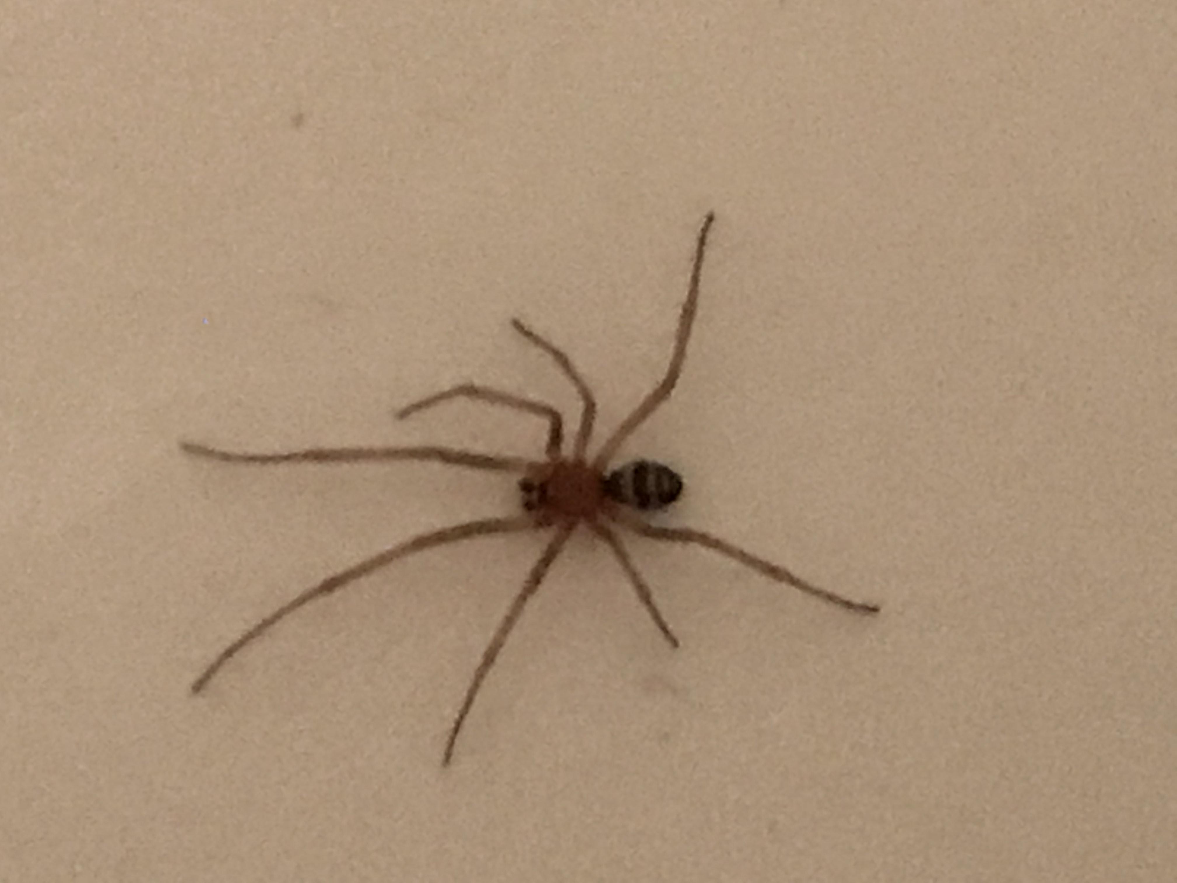 Picture of Steatoda grossa (False Black Widow) - Male - Dorsal