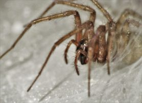 Picture of Tegenaria domestica (Barn Funnel Weaver) - Lateral,Webs