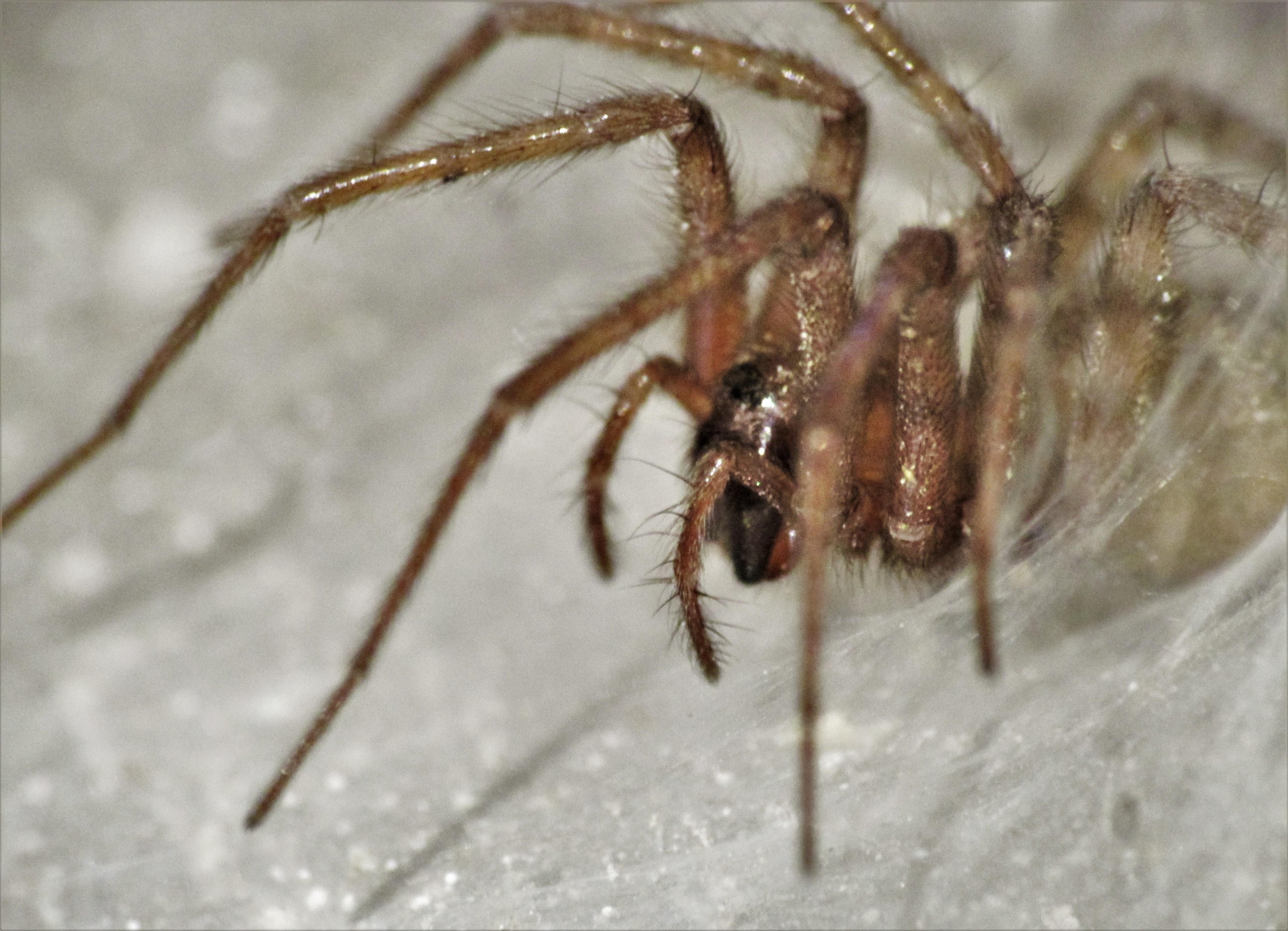 Picture of Tegenaria domestica (Barn Funnel Weaver) - Lateral,Webs
