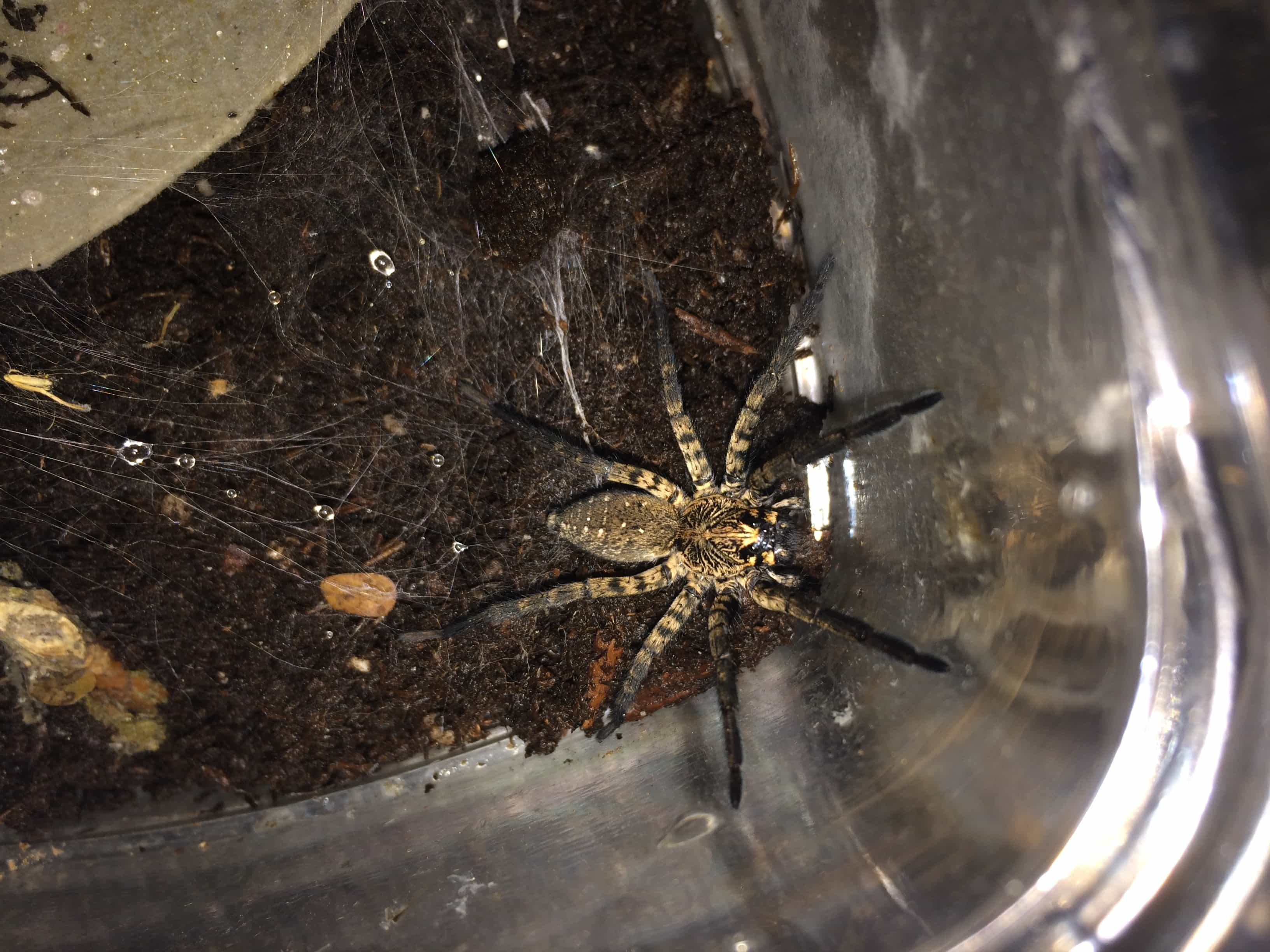 Picture of Sosippus texanus - Dorsal,Webs