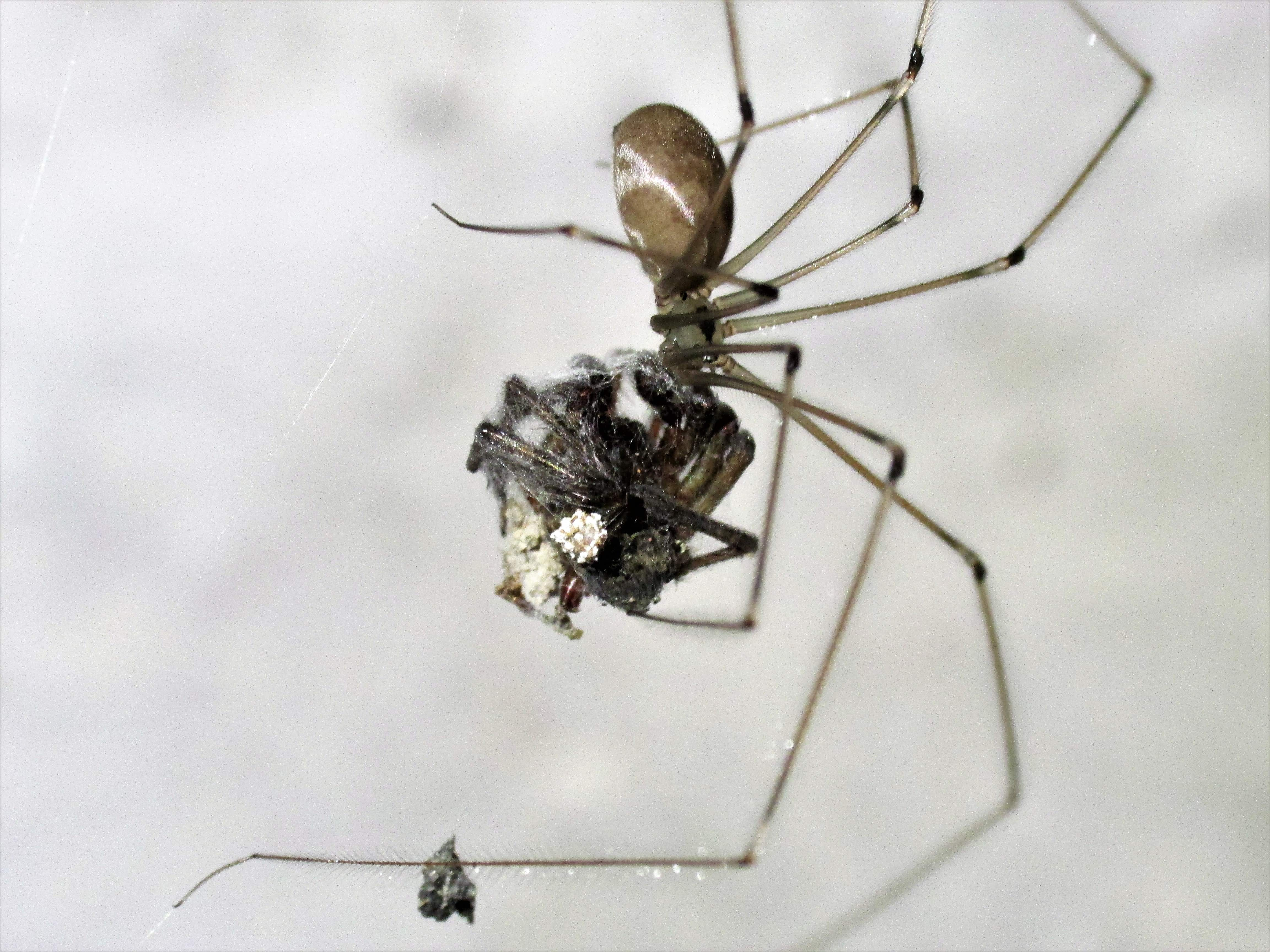 Picture of Pholcus phalangioides (Long-bodied Cellar Spider) - Lateral,Prey
