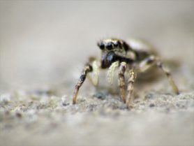 Picture of Salticus scenicus (Zebra Jumper) - Female - Eyes
