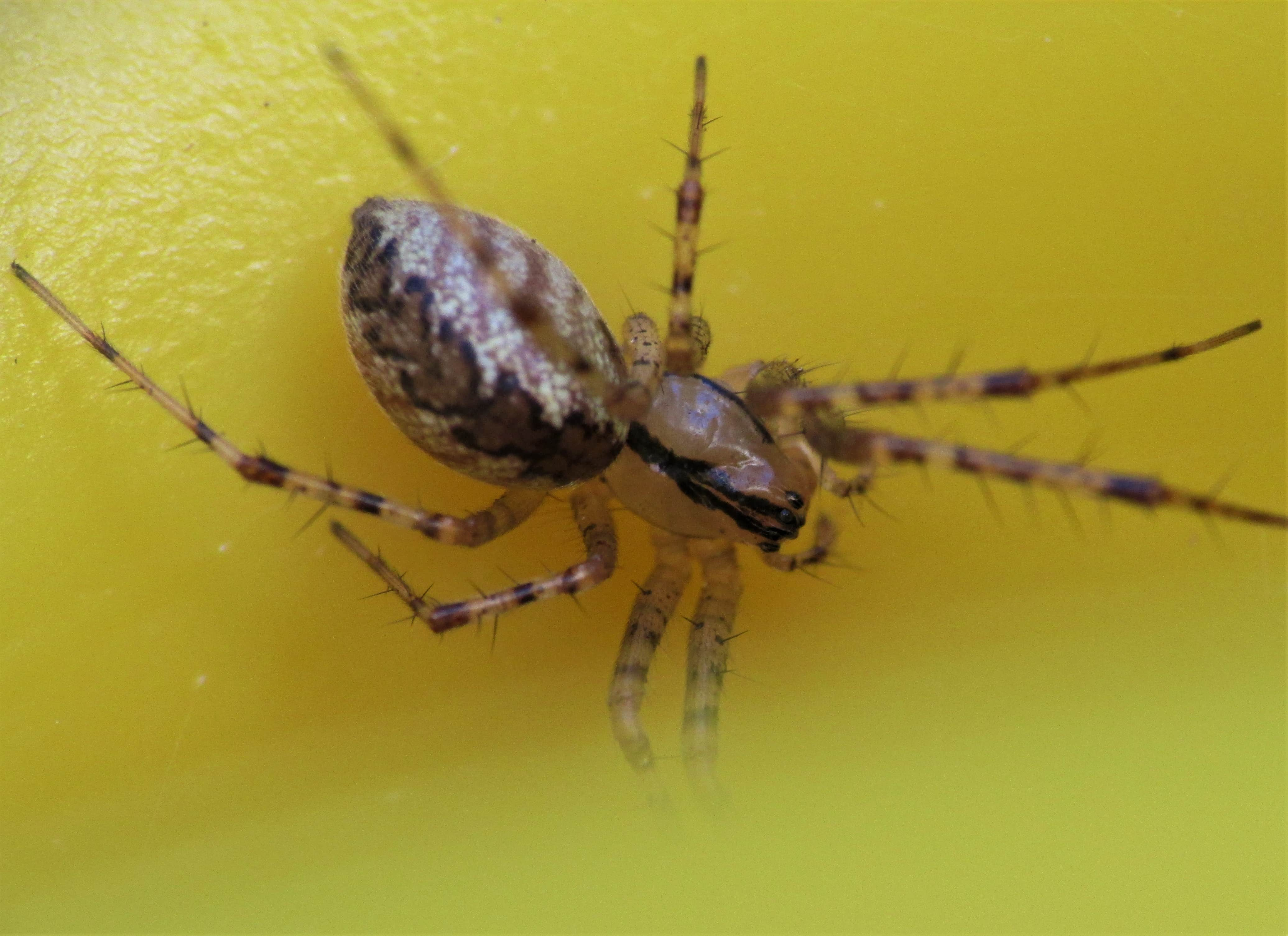 Picture of Pityohyphantes costatus (Hammock Spider) - Female - Dorsal