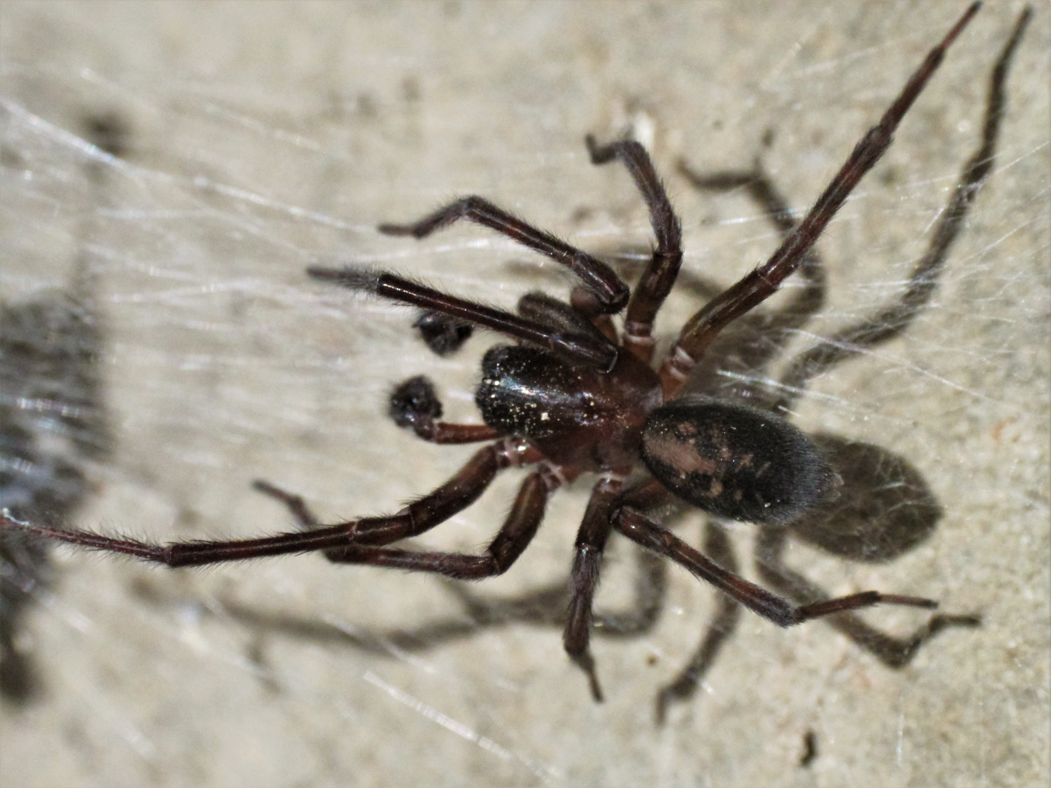 Picture of Amaurobius ferox (Black Lace-Weaver) - Male - Dorsal,Webs