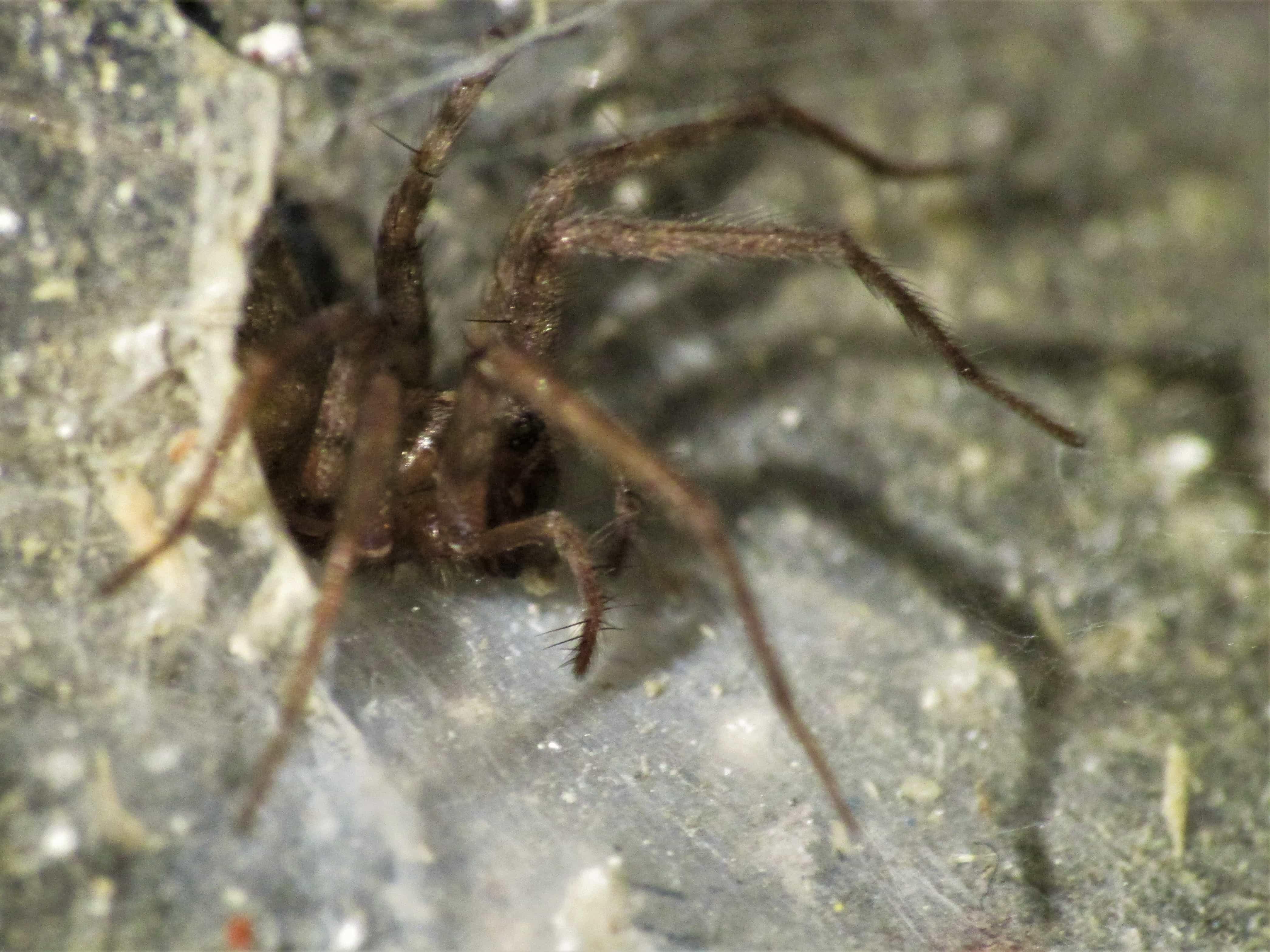Picture of Tegenaria domestica (Barn Funnel Weaver) - Female - Lateral,Webs,In Retreat