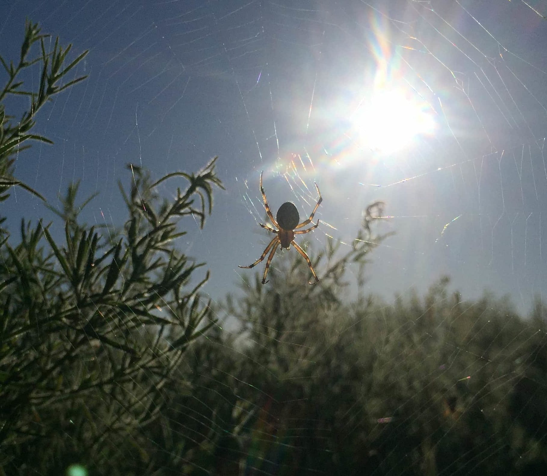 Picture of Neoscona oaxacensis (Western Spotted Orb-weaver) - Dorsal,Webs
