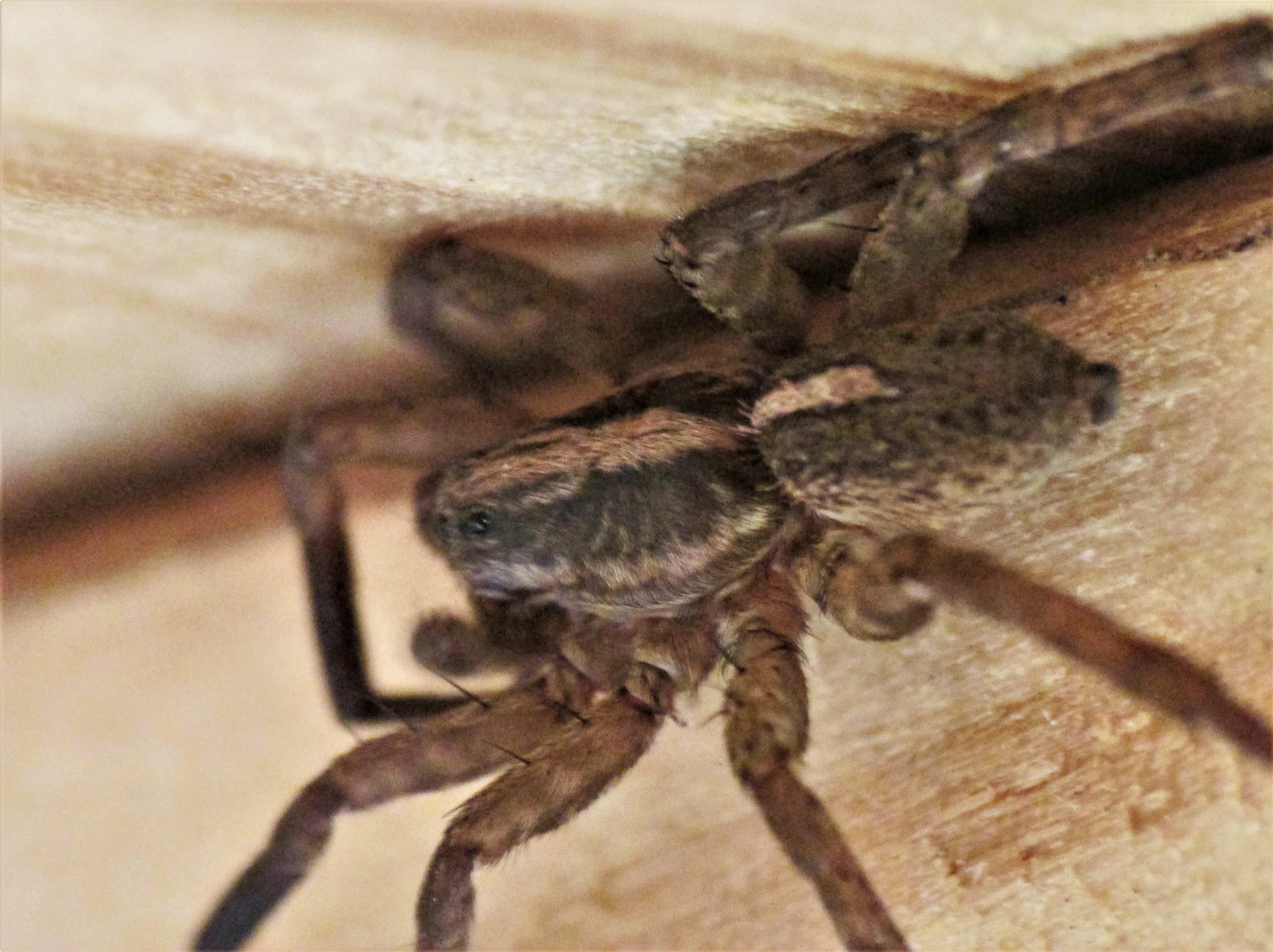 Picture of Trochosa ruricola - Male - Dorsal