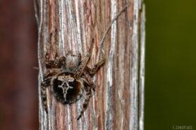 Picture of Agalenatea redii (Gorse Orb-weaver) - Dorsal