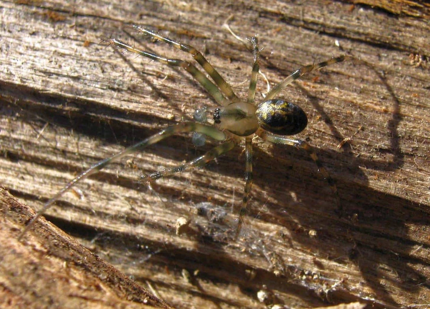 Picture of Meta ovalis (Cave Orb-weaver) - Male - Dorsal