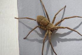 Picture of Heteropoda venatoria (Huntsman Spider) - Female - Dorsal