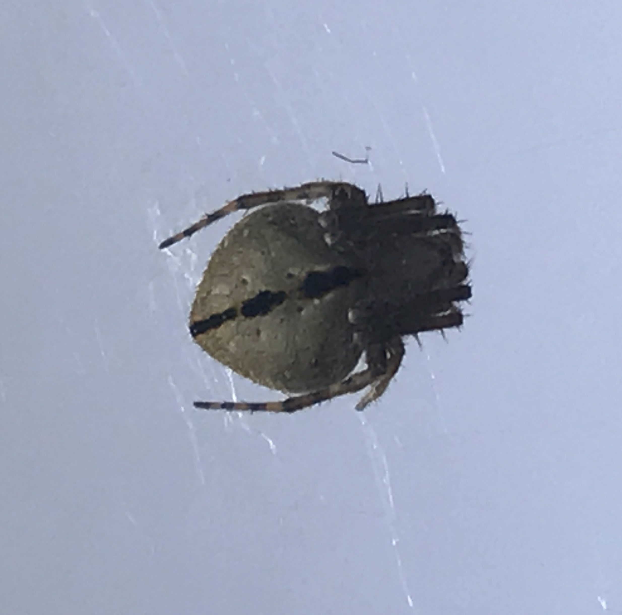 Picture of Eustala anastera (Hump-backed Orb-weaver) - Dorsal,Webs