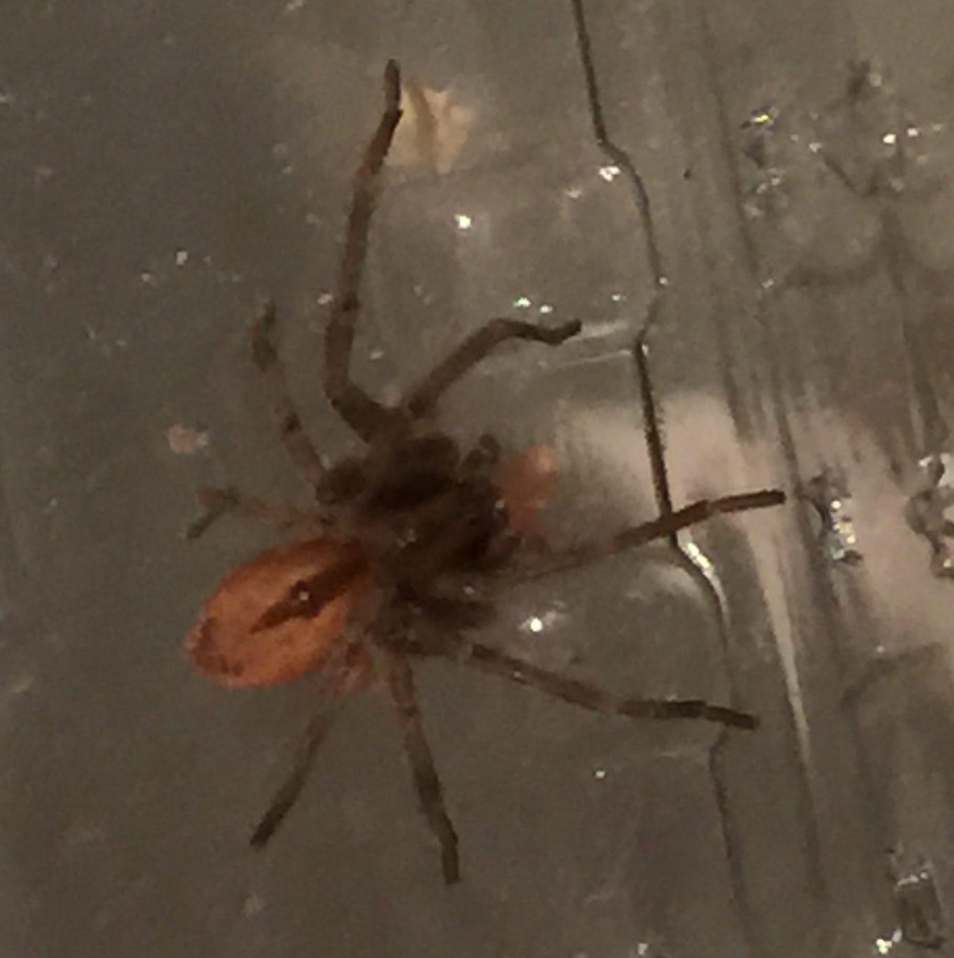 Picture of Thanatus vulgaris (Running Crab Spider) - Dorsal