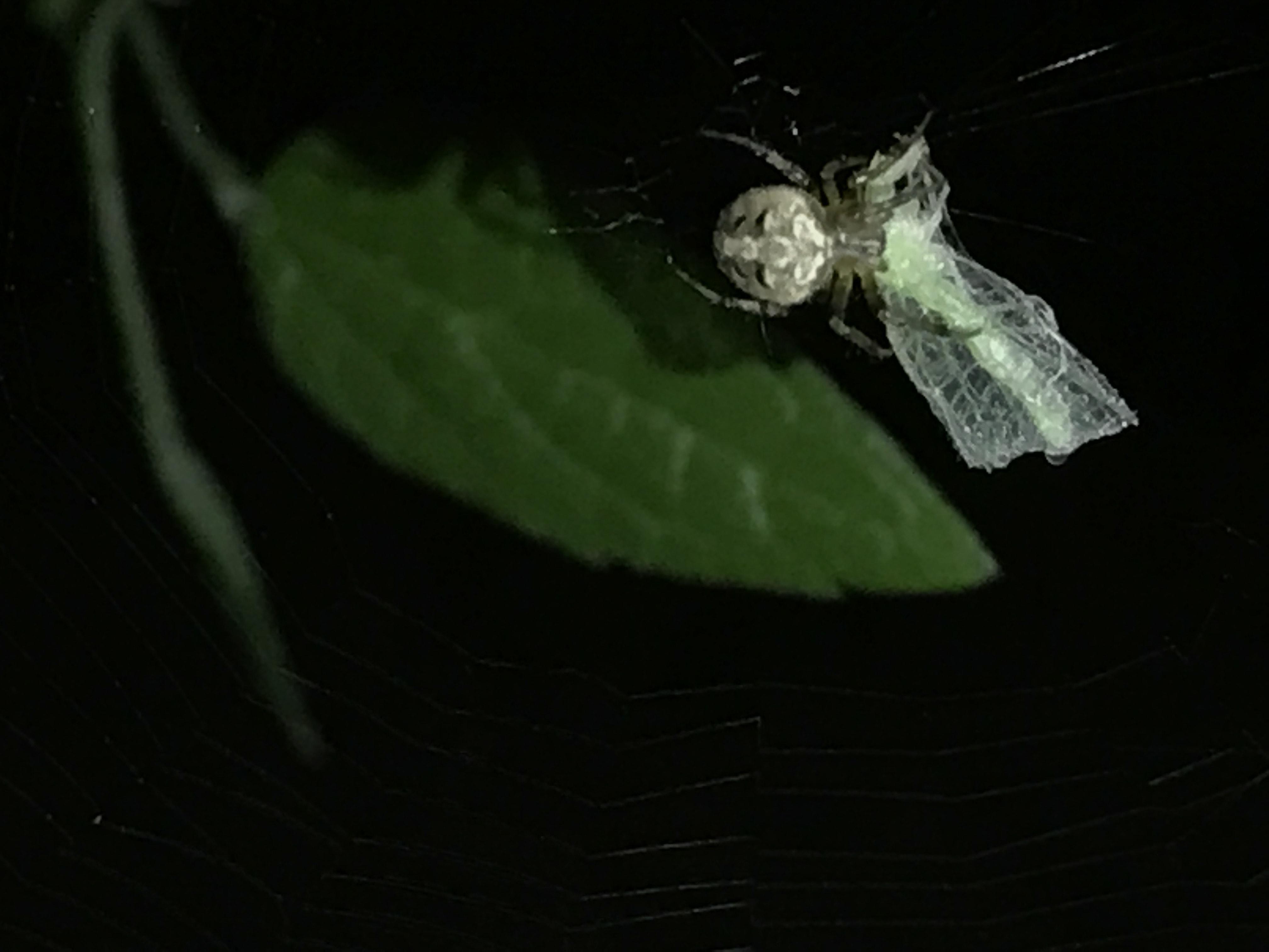 Picture of Neoscona arabesca (Arabesque Orb-weaver) - Dorsal,Webs,Prey