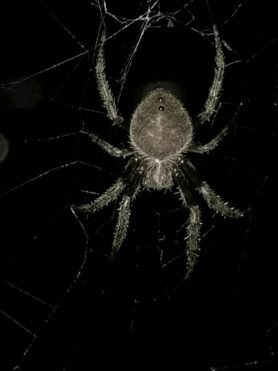 Picture of Eriophora ravilla (Tropical Orb-weaver) - Dorsal