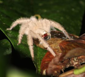 Picture of Heteropoda spp. - Lateral