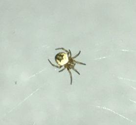 Picture of Araneidae (Orb-weavers) - Dorsal,Spiderlings,Webs