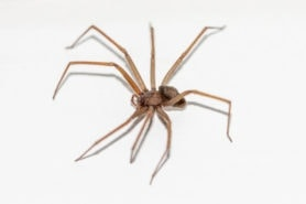 Picture of Loxosceles rufescens (Mediterranean Recluse) - Lateral