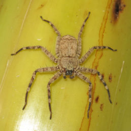Featured spider picture of Selenops radiatus