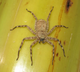 Picture of Selenops radiatus - Dorsal
